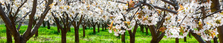 Turismo valle del jerte - Floración del cerezo valle del jerte
